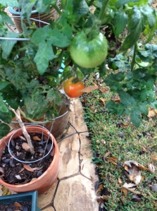Ripe tomatoes in December!