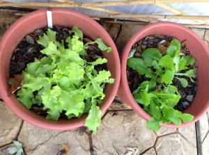 Buttercrunch Lettuce and Black-seeded Simpson lettuce